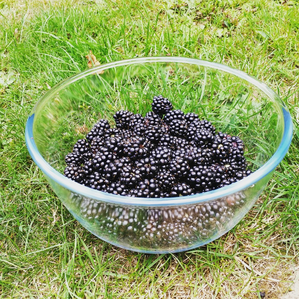 blackberry harvest 1
