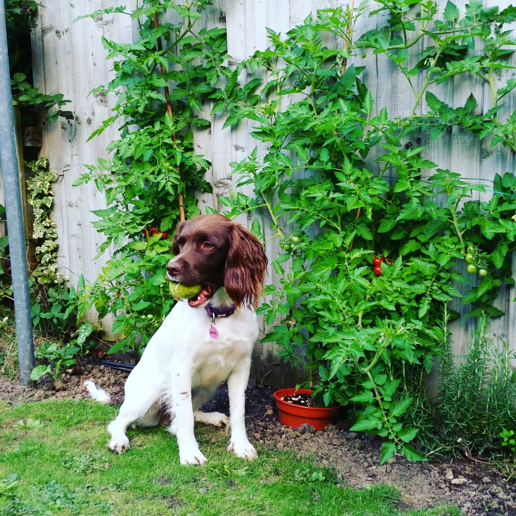 guarding the tomato plants