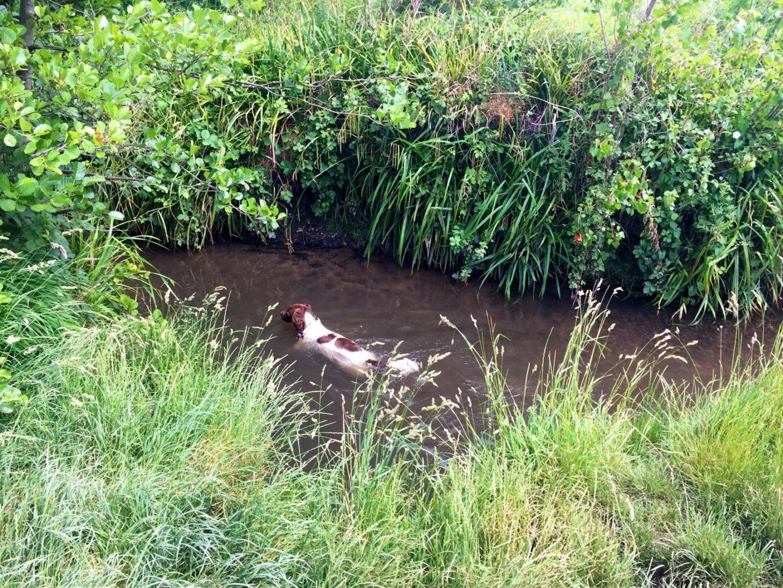 Maddie the Springer Spaniel swimming