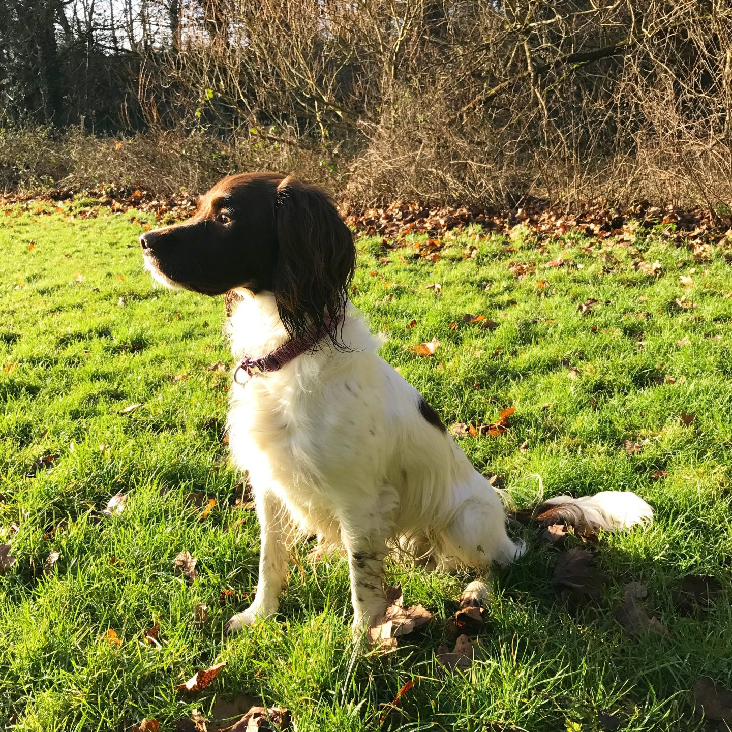 My Sunday Photo Spaniel Sunshine