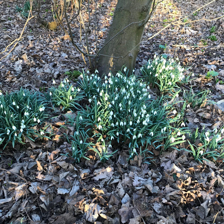 Rickling Green Snowdrops